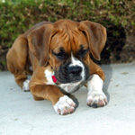 Patsy - Boxer Puppy